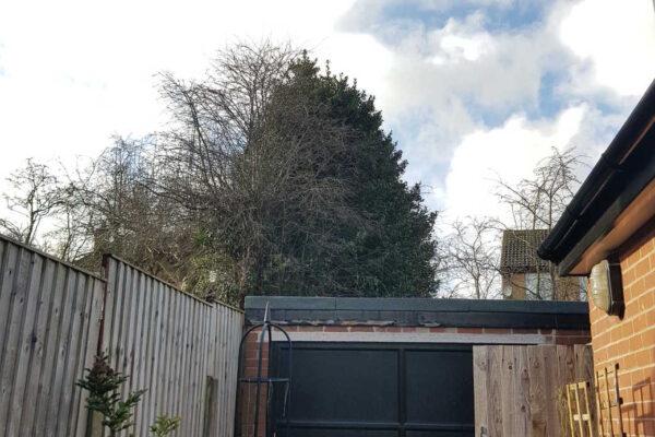 Holly Tree Pruning in Ilkeston